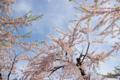 [北海道][函館][花][桜][五稜郭]五稜郭の桜 XI