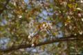[北海道][二十間道路][花][桜]二十間道路桜並木・花のトンネル チシマザクラ近景