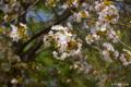 [北海道][二十間道路][花][桜]二十間道路桜並木・花のトンネル 桜近景(種類不詳)