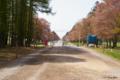 [北海道][二十間道路][花][桜]二十間道路桜並木 III 北端から南側を望む