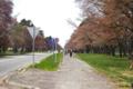 [北海道][二十間道路][花][桜]二十間道路桜並木 桜吹雪 I