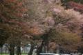 [北海道][二十間道路][花][桜]二十間道路桜並木 桜吹雪 II