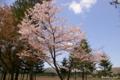 [北海道][二十間道路][花][桜]二十間道路桜並木 VI