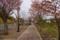 登別桜並木「花のトンネル」 II
