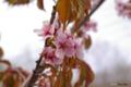 [北海道][登別][花][桜]登別桜並木「花のトンネル」 桜近景