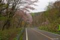 [北海道][花][桜]オロフレスキー場近くのヤマザクラ