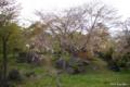 [北海道][有珠善光寺自然公園][花][桜]有珠善光寺自然公園の枝垂桜
