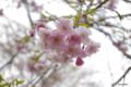[北海道][有珠善光寺自然公園][花][桜]枝垂桜近景