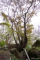 [北海道][有珠善光寺自然公園][花][桜]石割桜