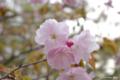 [北海道][有珠善光寺自然公園][花][桜]桜近景(種類不詳)