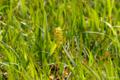 [東北][八甲田山][花]田茂萢湿原 キンコウカ