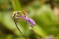 [東北][八甲田山][花]田茂萢湿原 コバキボウシ