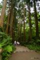 [東北][十和田湖]十和田神社参道の杉並木