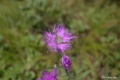 [北海道][函館][花]函館山の花々 II