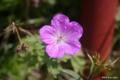 [北海道][函館][花]函館山の花々 III エゾフウロ
