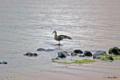 [山梨県][富士五湖][鳥]河口湖畔 背伸びするカルガモ