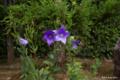 [静岡県][掛川城][花]掛川城二の丸茶室 日本庭園の桔梗