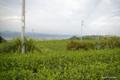 [静岡県][牧之原]牧之原台地の茶畑 II