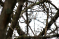 [北海道][鳥][ウトナイ湖]シジュウカラ @ウトナイ湖