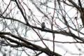 [北海道][鳥][ウトナイ湖]ハシブトガラ @ウトナイ湖