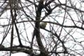[北海道][鳥][ウトナイ湖]メジロ @ウトナイ湖