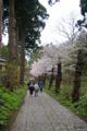 [北海道][松前][桜]松前城 染井吉野の並木