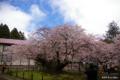 [北海道][松前][桜]血脈桜 III