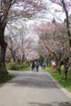 [北海道][松前][桜]