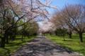 [北海道][花][桜]桜 @北海道森町 オニウシ公園