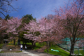 [北海道][花][桜]栗山公園の桜 I