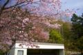 [北海道][花][桜]栗山公園の桜 II