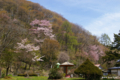 [北海道][花][桜]栗山公園の桜 III