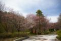 [北海道][花][桜]追分 鹿公園 I