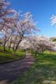 [北海道][花][桜]熊石休養村の桜 II