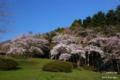 [北海道][花][桜]熊石休養村の桜 III