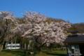 [北海道][花][桜]熊石休養村の桜 IV