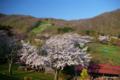 [北海道][花][桜]熊石休養村の桜 V