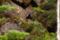 然別湖畔のナキウサギ III