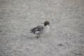 [北海道][ウトナイ湖][鳥]オナガガモ♂ @ウトナイ湖