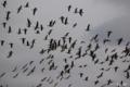 [北海道][ウトナイ湖][鳥]マガンの群れ @ウトナイ湖