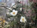 [東京][靖国神社][花][梅]白梅 @靖国神社