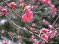 [東京][靖国神社][花][梅]紅梅 @靖国神社