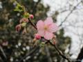 [東京][皇居東御苑][花][桜]寒桜 @皇居東御苑 本丸