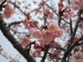 [東京][皇居東御苑][花]寒桜 @皇居東御苑 本丸