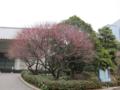 [東京][皇居東御苑][花][梅]紅梅 @皇居東御苑 三の丸尚蔵館前