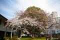 [東京][花][桜]国立科学博物館附属自然教育園 入口前の桜