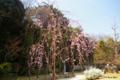 [東京][花][桜]港区どんぐり児童公園の枝垂桜