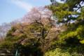 [東京][花][桜]東京都庭園美術館の桜 II