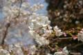[東京][花][桜]東京都庭園美術館の桜 IV