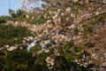 [東京][花][桜]東京都庭園美術館の桜 VI